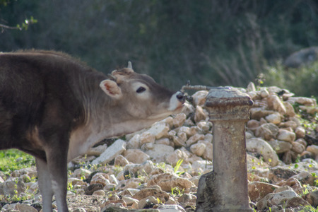 View of a cow drinking from a water fountain. The shot is taken during a beautiful sunny day in Sicily, Italy Standard-Bild - 120090889