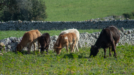 View of some cows while grazing. The shot is taken during a beautiful sunny day in Sicily, Italy