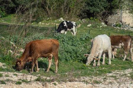 View of some cows while grazing. The shot is taken during a beautiful sunny day in Sicily, Italy Standard-Bild - 120091213