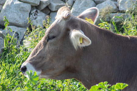 View of a cow while grazing. The shot is taken during a beautiful sunny day in Sicily, Italy Standard-Bild - 120091335