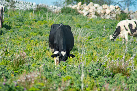 View of some cows while grazing. The shot is taken during a beautiful sunny day in Sicily, Italy Standard-Bild - 120091411