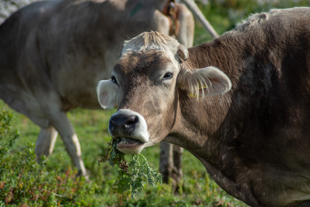 View of a cow while grazing. The shot is taken during a beautiful sunny day in Sicily, Italy Standard-Bild - 120091414