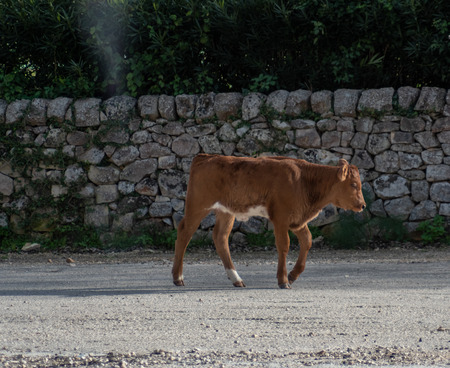 View of a cow while grazing. The shot is taken during a beautiful sunny day in Sicily, Italy Standard-Bild - 120091498
