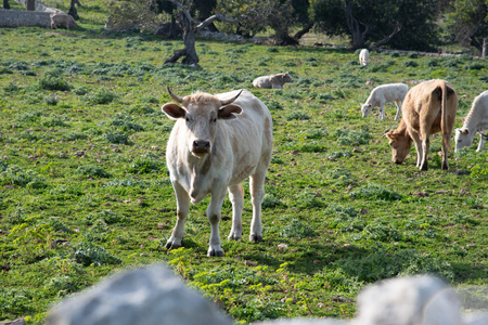 View of some cows while grazing. The shot is taken during a beautiful sunny day in Sicily, Italy Standard-Bild - 120091501