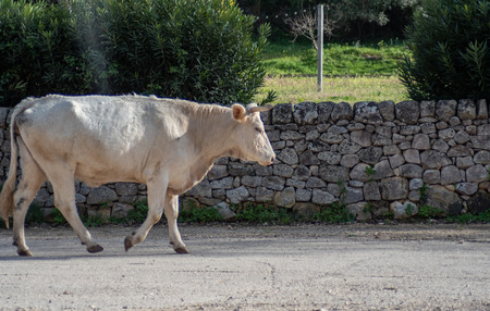View of a cow while grazing. The shot is taken during a beautiful sunny day in Sicily, Italy Standard-Bild - 120091513