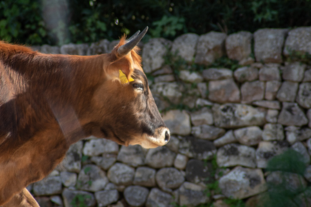 View of a cow while grazing. The shot is taken during a beautiful sunny day in Sicily, Italy Standard-Bild - 120091516