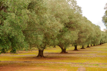 vegetal: olive grove Stock Photo
