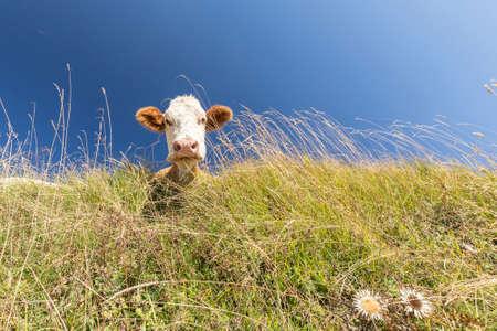 green hills: cow portrait