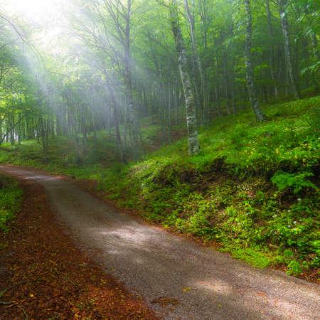 illuminate: sun rays trough forest trees illuminate after the rain