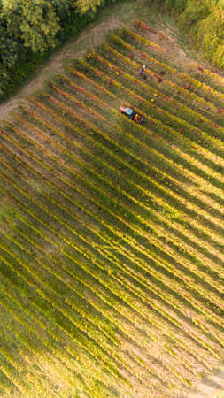 lucania: birds eye view of a vineyard in southern Italy during the harvest in basilicata region