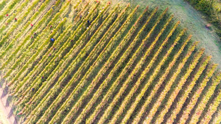 lucania: birds eye view of a vineyard in southern Italy during the harvest of aglianico in basilicata region Stock Photo