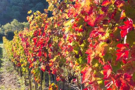 folliage: aglianico vineyard autumn folliage in southern italy