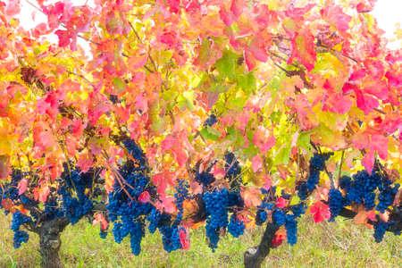lucania: Aglianico del Vulture grapes mature late autumn giving warm fantastic colors Stock Photo