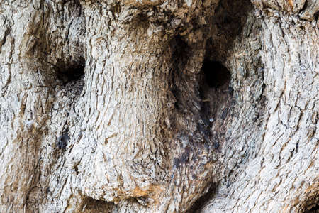 centenarian: detail of the olive tree which looks like the face of a bear