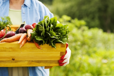organic plants: Senior woman holding box with vegetables Stock Photo