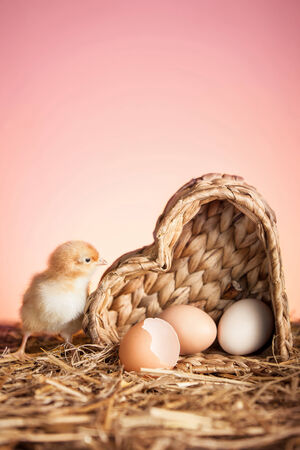 Small chicken with eggs on straw   photo