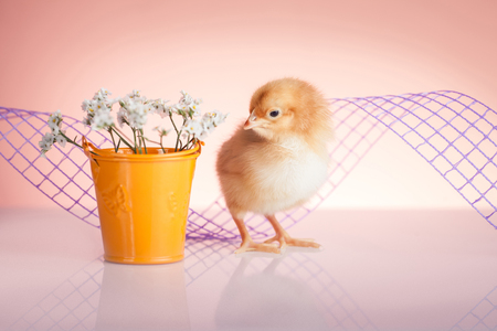 Springtime with small cute chicken  photo