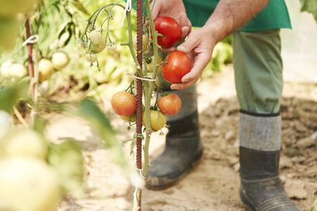 私の庭から新鮮なトマト