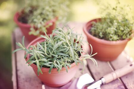 rosemary flower: Fresh herbs grown in the pots