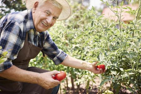 Frische Tomaten auf dem Frühstücks Standard-Bild