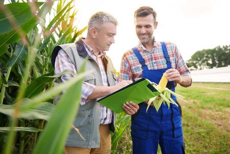 Comprobación de la calidad de la planta de maíz Foto de archivo