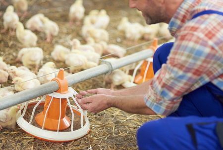 Farmer feeding chickens in the chicken coop Stock Photo - 63188590