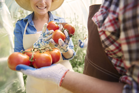 Bush of tomatoes picked up by woman