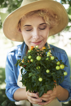 Green tomato on a bush holding by woman Stock Photo