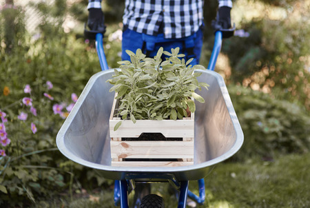 Unrecognizable man pushing wheelbarrow with seedling
