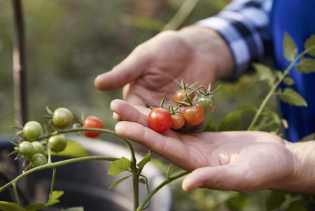 Human hand holding tomatoes at vegetable garden