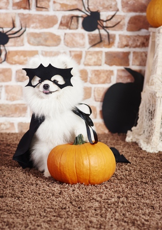 Dog in superhero costume holding a pumpkin Stock Photo