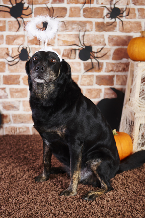 Black dog with halo at halloween