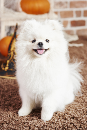 Portrait of pomeranian at home