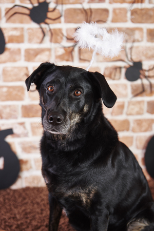 Portrait of black dog with halo at halloween Stock Photo