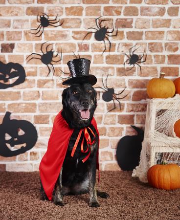 Portrait of dog in halloween costume Stock Photo