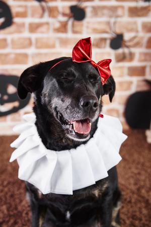 Black dog in halloween costume Stock Photo