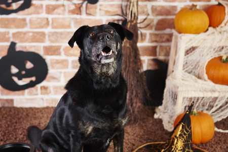 Black dog looking up and barking Stock Photo