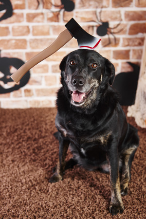 Portrait of dog with an axe in halloween time