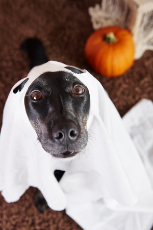 Close up of dog in ghost costume Stock Photo