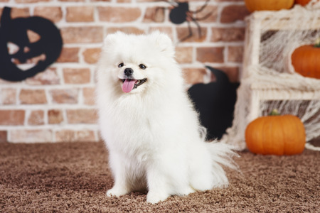 Front view of happy pomeranian in halloween time