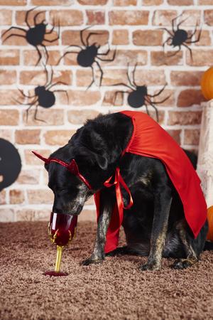 Black dog in devil costume drinking