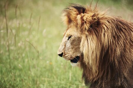 Side view of big lion in nature Stock Photo