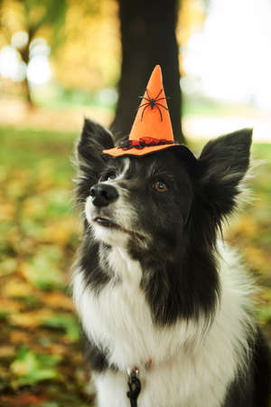 Dog is wearing witch's hat