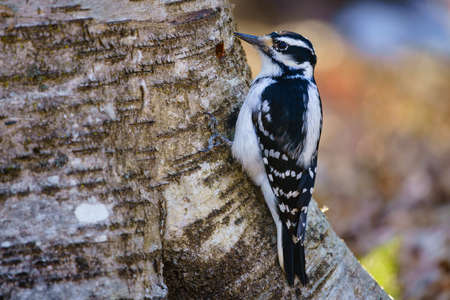 woodpecker: Hairy woodpecker (picoides villosus) on a tree, Ottawa, Canada