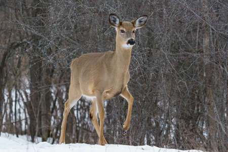white tailed: white tailed deer in winter in Ottawa, Canada