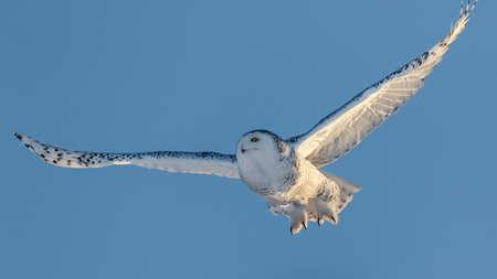 natue: Snowy owl in flight against blue sky