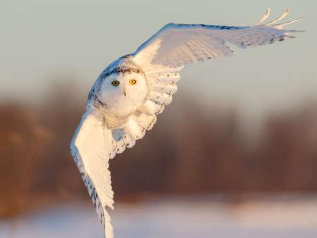 natue: Snowy owl in flight at sunrise in rural Ottawa, Canada Stock Photo