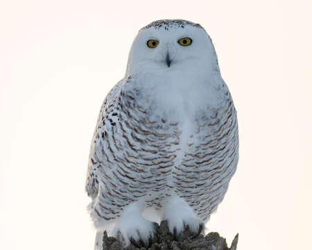 Female snowy owl stands on a post looking backward Stock Photo