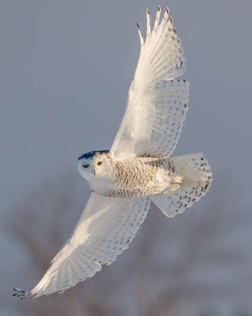 Vrouwelijke SneeuwUil tijdens de vlucht op het platteland van Ottawa, Canada