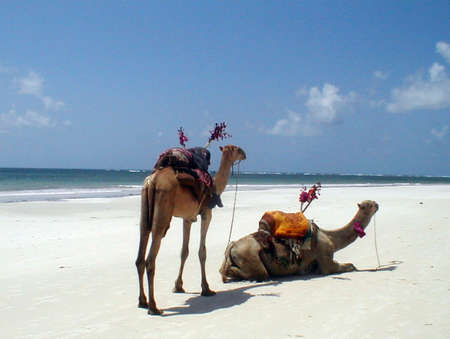 to let: Camels to let on Diani Beach - Mombasa South Coast, Kenya